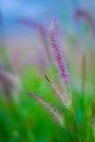 Тростники травы Стоковые Изображения