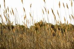 Тростники тростника от взгляда глаза червя в Assateague Стоковое Фото
