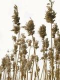 тростники Стоковая Фотография RF