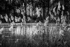 Тростники Стоковое Изображение