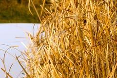 Тростники Стоковые Фотографии RF