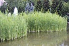 Тростники Стоковое Фото