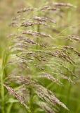 Тростники Стоковое Изображение RF
