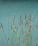 тростники Стоковая Фотография