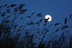 Тростники silhouette и лунатируют Стоковые Изображения RF