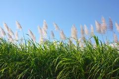 тростниковый сахар Стоковые Изображения RF