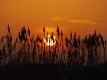 Тростник захода солнца Стоковое фото RF
