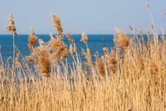 Тростник на предпосылке моря Стоковое фото RF