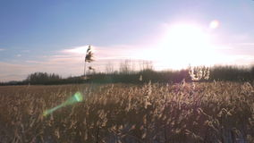 Тростник общего тростника australis в зиме с снегом Предыдущая весна в Латвии видеоматериал