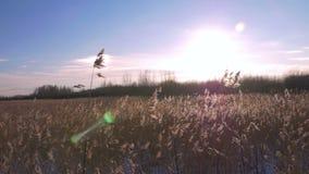 Тростник общего тростника australis в зиме с снегом Предыдущая весна в Латвии сток-видео