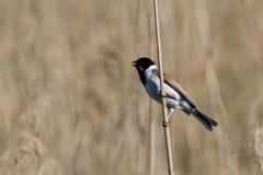 тростник овсянки птицы стоковое фото