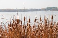 Тростник осени Стоковое Фото