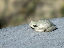 тростник покрашенный лягушкой Стоковые Фотографии RF