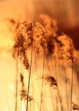 тростник пруда сумрака стоковые изображения