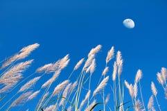 тростник травы Стоковые Изображения