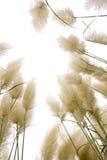 тростник цветков Стоковое фото RF