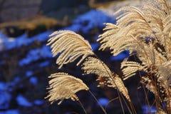 тростник Стоковые Фото