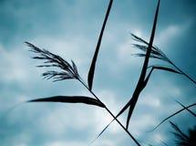 тростник Стоковое Изображение