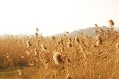тростник Стоковые Изображения RF