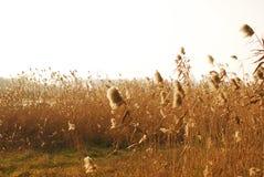 тростник Стоковые Изображения