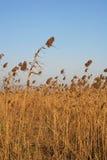 тростник Стоковая Фотография RF