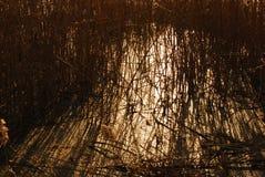 тростник Стоковые Фотографии RF