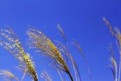 тростник стоковое фото