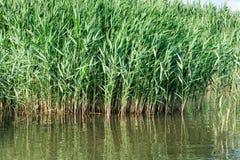 Тростник australis, общий тростник. Стоковые Фото
