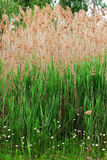 Тростник australis Стоковое Изображение