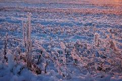 Тростник Frost на зиме Стоковое фото RF