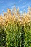 тростник ornamental karl травы foerster пера Стоковая Фотография