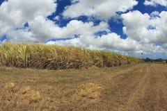 тросточка Барбадосских островов fields сахар Стоковые Изображения