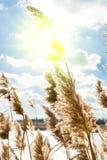 Тросточка в лучах солнца Стоковые Фотографии RF