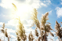 Тросточка в лучах солнца Стоковые Изображения RF
