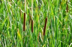 Тросточка род ежегодных и постоянных заводов Стоковая Фотография RF