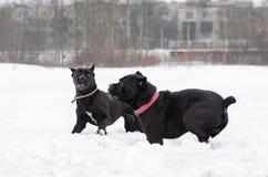 Тросточка Corso Игра собак друг с другом стоковое фото rf