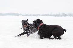 Тросточка Corso Игра собак друг с другом стоковая фотография