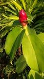 Тросточка Reed кузнца speciosus Costus Стоковое фото RF