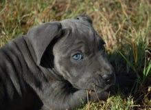 тросточки corso щенка детеныши очень Стоковая Фотография RF