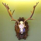 Трофей звероловства ланей на зеленой стене Стоковые Фотографии RF