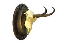 Трофей звероловства шамуа установленный на деревянной плите Стоковое Фото