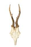 Трофей звероловства Roebuck Стоковая Фотография