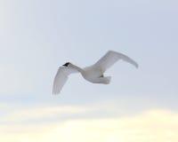 трубач лебедя летания Стоковые Фотографии RF