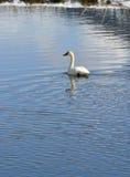 трубач лебедя Стоковые Фото