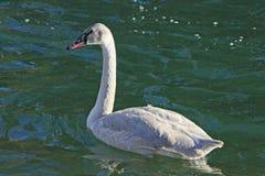 трубач лебедя cygnet Стоковые Фото