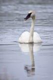 трубач лебедя Стоковые Изображения