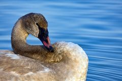 трубач лебедя Стоковое Изображение