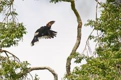 трубач hornbill летания вверх Стоковое Изображение RF