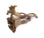 труба мертвого съестного гриба Стоковое Изображение