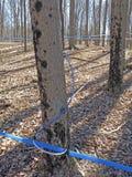 Трубопровод для того чтобы выстучать дерево клена стоковое изображение rf